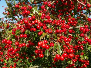 hawthorn_berries_shropshire_september_2006_close_up